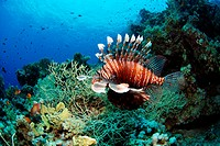 Common lionfish swimming in the north of Egypt, Ras Mohamed reef, Red Sea. Pterois volitans.