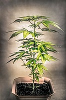 Cannabis female plant in flowerpot, Indica dominant hybrid in early flowering stage.