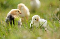Close-up of chicken (Gallus gallus domesticus) chicks on a meadow in spring.