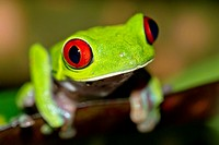 Red-eyed Tree Frog, Agalychnis callidryas, Tropical Rainforest, Corcovado National Park, Osa Conservation Area, Osa Peninsula, Costa Rica, Central Ame...