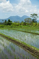 Rice paddy field near Sedimen, Bali, Indonesia.
