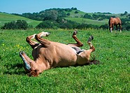A horse rolls in the beautiful spring grass.