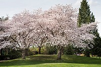 cherry trees in spring near Granville Island, Vancouver, BC, Canada.