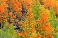 Fall-colored quaking aspen (Populus tremuloides) groves displaying wide color variation, San Juan National Forest, southwest Colorado, USA.