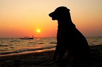 Dog in a beach. Sunset in Otres beach, Sihanoukville, Cambodia.
