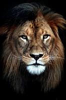 A close up shot of an African Lion.