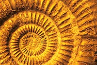 Ammonite fossil close up.
