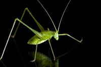 Green Katydid Species - Camp Lula Sams - Brownsville, Texas USA.