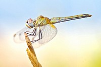 Dragonfly with big eyes balanced on the tip of a branch in the summer sun.