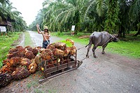 Asia,Borneo,Malaysia,Sabah,Sukau ,Oil palm tree,African oil palm (Elaeis guineensis),exploitation of the fruits with the help of a water buffalo.