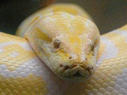 Albino Burmese python (Python bivittatus) photographed at Honolulu (Hawai´i) Zoo.