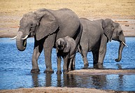Zimbabwe, Hwange National Park, Baby Elephant with mother at water hole