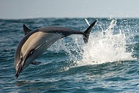 Common Dolphin (Delphinus delphis) jumping in water offshore Port St. Johns in the Eastern Cape of South Africa.