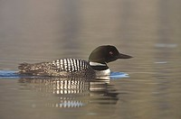 Great Northern Loon (Gavia immer), Common Loon.