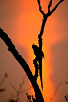 silhouette of bird at branch during sunset, Uganda