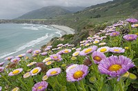 Groups of asters growing on a bluff overlooking the rugged coast of Big Sur california.