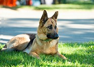 A German Shepherd Dog patiently awaits its owners return.