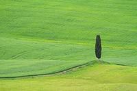 Cypress, scenic, Pienza, Siena, Tuscany, Italy