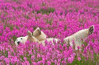 Polar Bear (Ursa maritimus) in fireweed (Epilobium angustifolium) on an island off the sub-arctic coast of Hudson Bay, Churchill, Manitoba, Canada. Be...