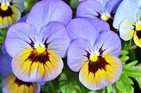 Violetas cultivadas.