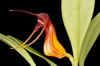 Masdevallia filaria (orquídea de los Andes).