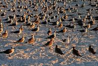 Seagulls flock to the shoreline at Siesta Key beach Sarasota Florida at sunset.
