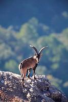 ibex (Capra pyrenaica), male. Natural Park Els Ports, Horta de San Joan. Tarragona.