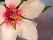 Almond flower, detail. Santa Barbara village countryside. Montsia Region, Tarragona Province, Catalonia, Spain.