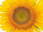 Sunflower detail (Helianthus annuus). Poble Nou del Delta village. Ebro River Delta Natural Park, Tarragona province, Catalonia, Spain.