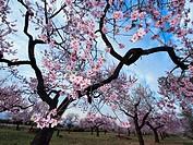 Almond trees in blossom at La Galera Village neighbourhood. Montsia Region, Tarragona Province, Catalonia, Spain.