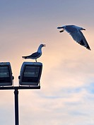 Audouin´s seagulls (Larus audouinii) flying over lamppost. Sant Carles de la Rapita village. Ebro River Delta Natural Park, Tarragona province, Catalo...