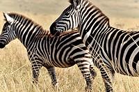Zebras, Equus burchelli, in Masai Mara, Kenya.