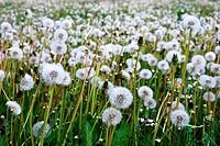 Dandelions on a spring meadow