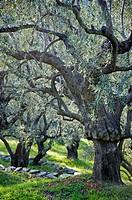 Olive grove in springtime - Pelion Peninsula, Thessaly, Greece