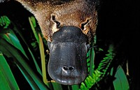 Platypus, ornithorhynchus anatinus, Close up of Beak, Australia.