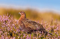 A Red Grouse ( Lagopus lagopus scoticus ) in moorland , Yorkshire Dales , England , Uk.