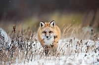 "Red fox (Vulpes vulpes) walking towards in snow, Churchill, Canada. Winner """"arret sur Image"""" festival Montier-en-Der, 2010."