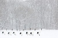 Red Crowned Cranes (Grus japonensis) walking in line in front of a forest during a blizzard. Winner highly honored Windland Smith Rice awards, Natures...