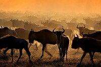 Wildebeests (Connochaetes taurinus) migrating at sunrise, Grumeti river, Seregeti national park, Tanzania.