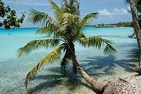Palm tree extending into the Rangiroa lagoon, Tuamotu Archipelago, French Polynesia.
