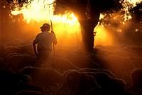 shepherd.seasonal migration of sheep. caceres.