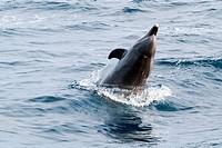Coastal Bottlenose Dolphins along Pacific Coast Highway 1.