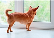 Red chihuahua dog standing on window sill and looks into the distance.