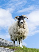 Sheep (Cheviot) on the Isle of Harris, home of the Harris Tweed. Only Cheviot and Scottish Blackface sheep may be used for Harris Tweed.Europe, Scotla...