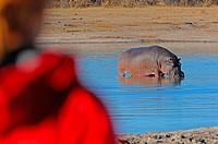 Viewing hippopotamus in water hole, Hwange, Zimbabwe, Africa.