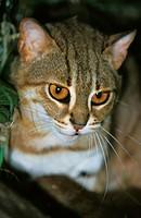 Rusty-Spotted Cat, prionailurus rubiginosus.
