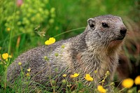 Whistler (Marmota marmota), National park Gran Paradiso, Italy.