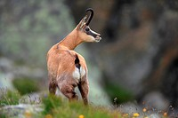 chamois (Rupicapra rupicapra) in the National Park Gran Paradiso, Italy.