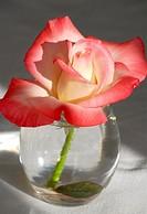 Variegated Rose in Vase.