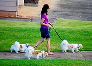 woman walking dogs - three Papillons, in Hawai´i.